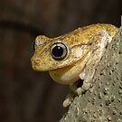 Peron's Tree Frog by Andrew Trevor-Jones