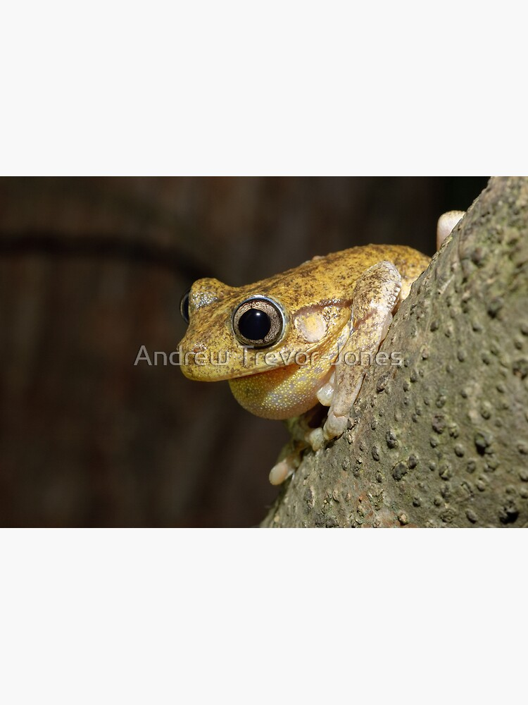 Peron's Tree Frog by andrewtj