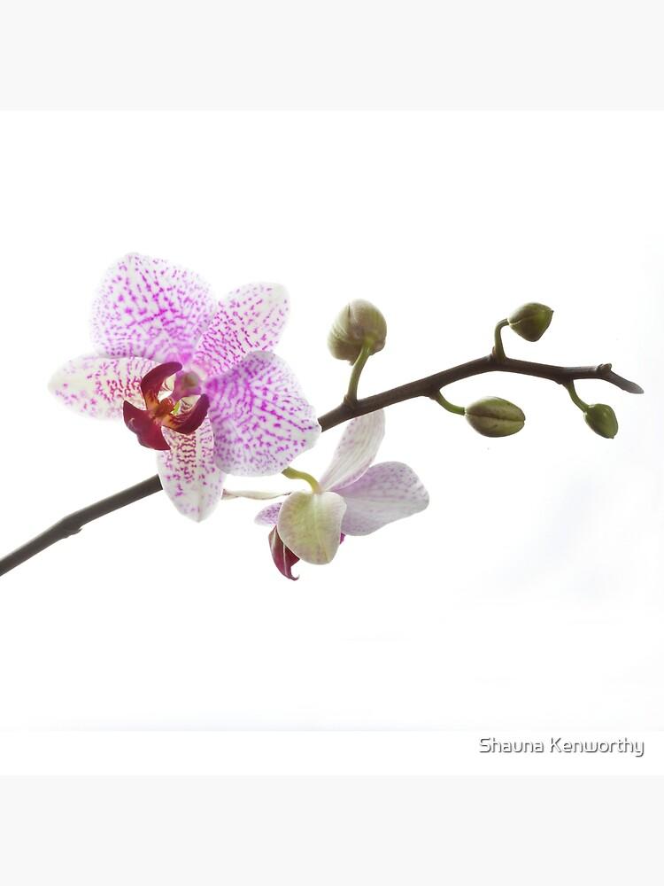 Orquídea púrpura (horizontal) de skenworthy