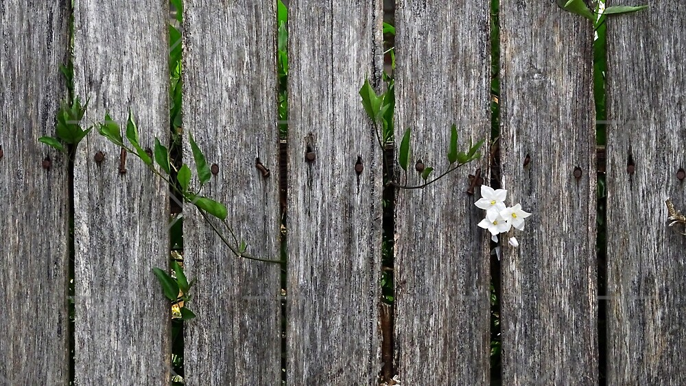 fence with flower by Steven Guy
