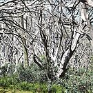 After the fire - Silver Gums by Bryan Cossart