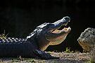 Basking 'Gator by Stephen Beattie