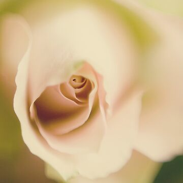 Centre of a pink rose by gailgriggs