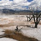 Dead Branches in the pools  of Mammoth Hot Springs, Yellowstone National Park, Wyoming, USA by Daniel H Chui