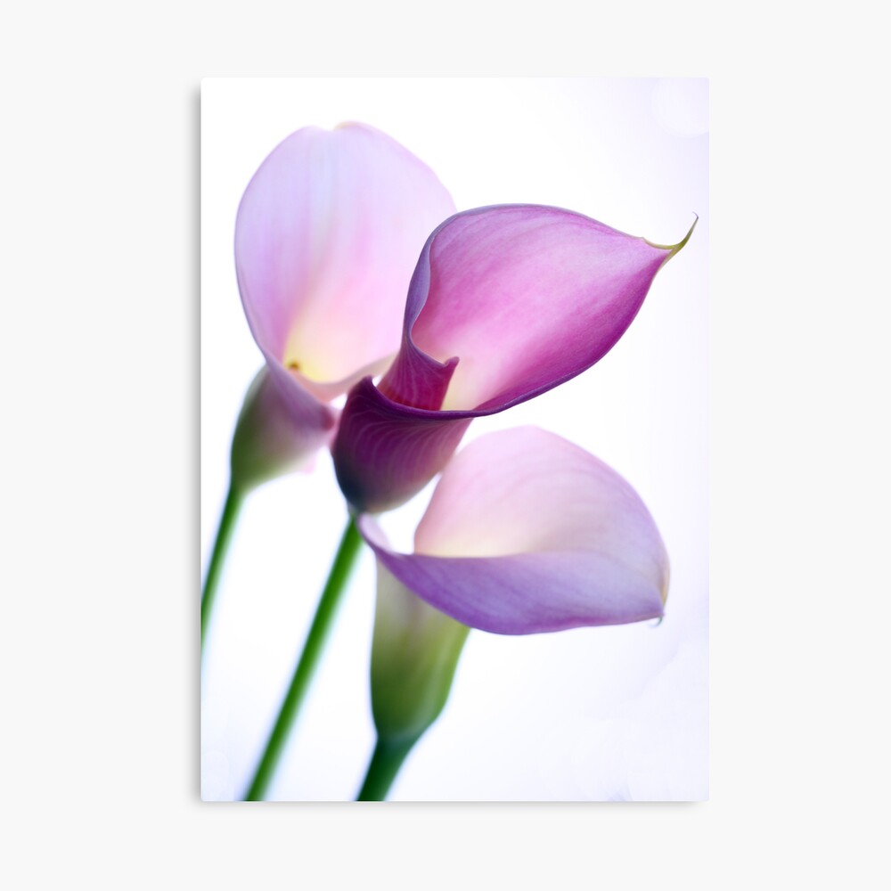Oh Lily Canvas Print