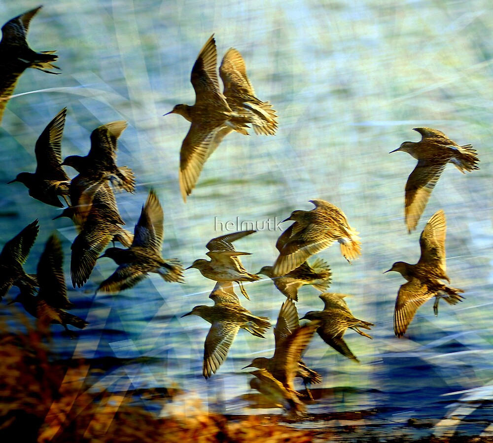 """ SANDPIPERS "" Marlo Vic. by helmutk"