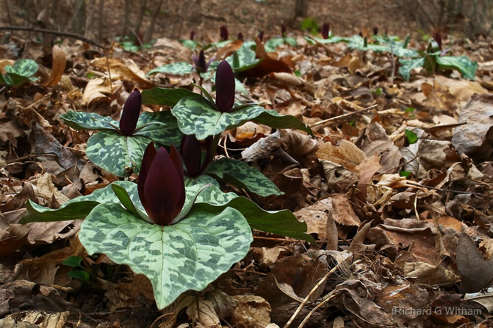 Trillium Spread by Richard G Witham