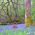 Bluebell Wood by Alexander Mcrobbie-Munro
