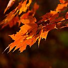 Orange Maple Leaves in Autumn Sun by Kent Nickell