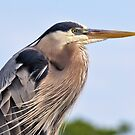 The Great Blue Heron  by Jeff Ore
