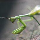 Praying Mantis by Julie Sherlock