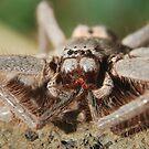 Huntsman Spider by Julie Sherlock