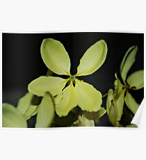 Five petaled yellow flower Poster