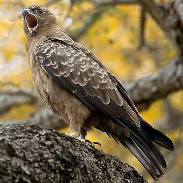 Wahlberg's Eagle by Mytmoss
