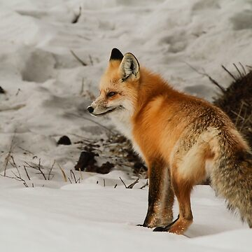 Red Fox #1 by mcvette