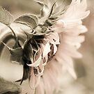Sunflower #2 by Caroline Gorka