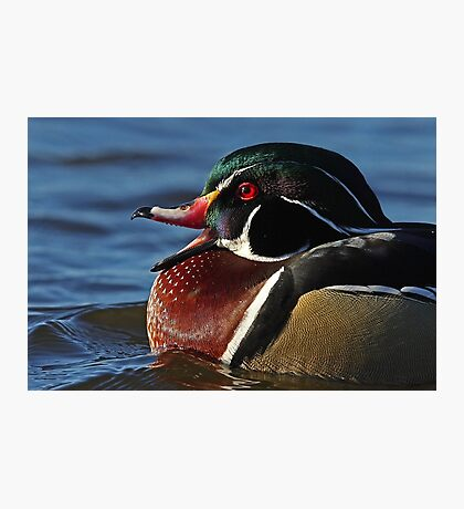 Quack! - Wood Duck Photographic Print