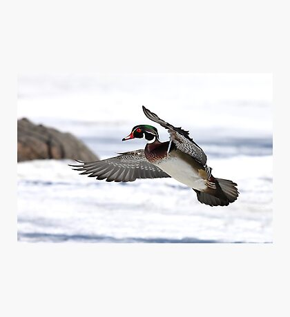 By the frozen shoreline - Wood Duck Photographic Print