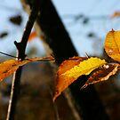 Beech Leaves in Fall by Wayne King
