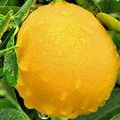 Lemon by Tokay