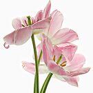 Pink Tulips by Ann Garrett