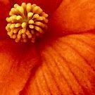 Orange Begonia by Sheri Nye