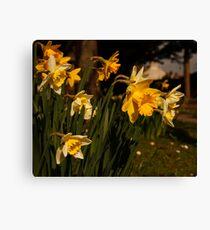 Daffodils in Dorchester Canvas Print