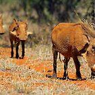 Warthog family by Explorations Africa Dan MacKenzie