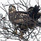 Bald Eagle Juvenile  by David Friederich