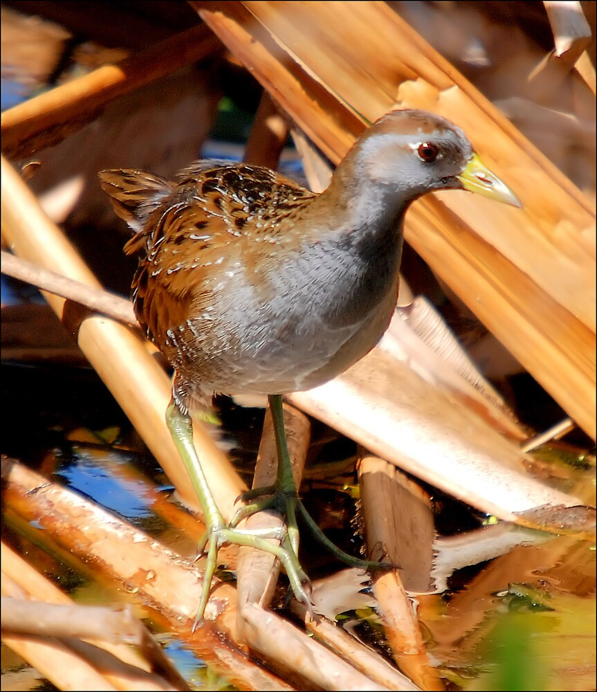The Sora by Donnie Shackleford