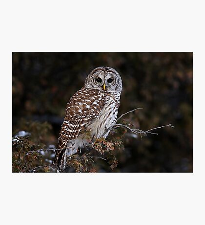 Barred Owl - Kanata Photographic Print