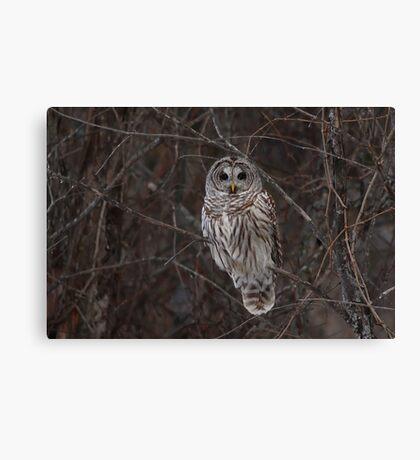 Barred Owl - Kanata, Ont Canvas Print