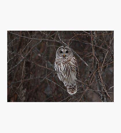 Barred Owl - Kanata, Ont Photographic Print