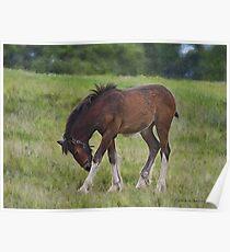 Foal - Cotebrook Shire Horse Centre Poster