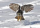 Snow Blast - Northern Hawk owl by Jim Cumming