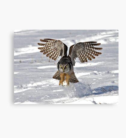 Snow Blast - Northern Hawk owl Canvas Print
