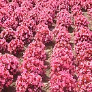 Rows of Pink by cetstreasures