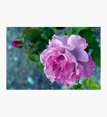 Mottled pink rose and bud Photographic Print