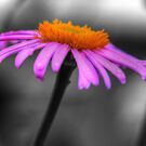 Lovely Purple and Orange Coneflower Echinacea by Shelley Neff
