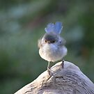 Blue Wren female, logging on! by adbetron