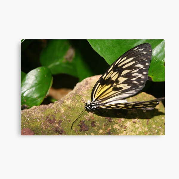Paper Kite Butterfly with Open Wings Canvas Print