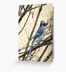 Blue Jay Perched in a Bush Greeting Card