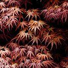 Japanese Maple, Acer Palmatum Seigen by gardenpictures