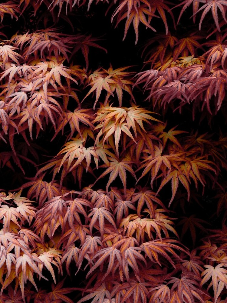 Japanese Maple, Acer Palmatum Seigen by gardenpictures