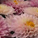 Mothers Day Flowers - Chrysanthemum's by Gabrielle  Lees
