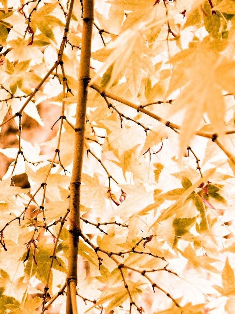 Japanese Maple Tree Leaves by gardenpictures