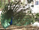 Peacock Showoff by ValeriesGallery