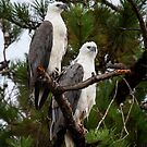 Sea Eagles Standing Watch by Chris  Randall