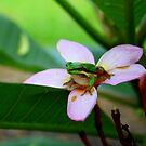 Frangipan frog by robmac