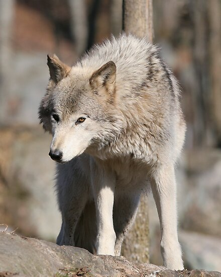 Timber Wolf by Todd Weeks